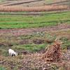 Ukraine goat in field