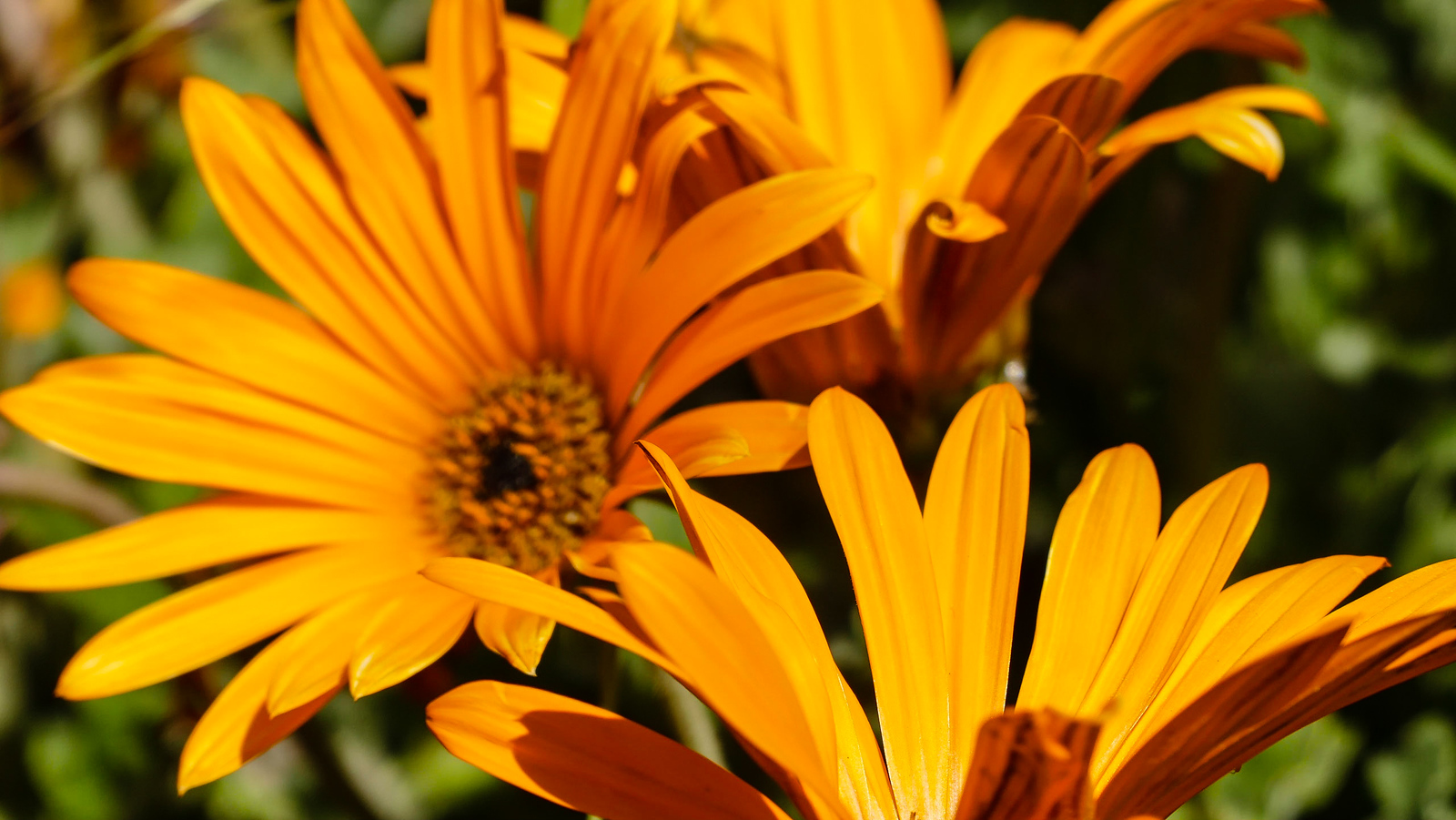 Close up of orange daisies