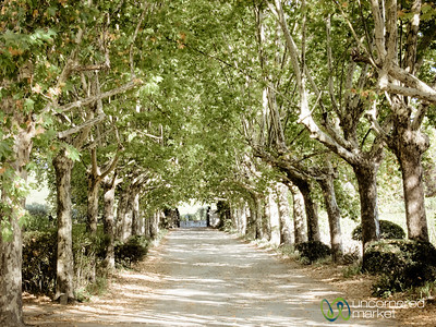 Quinta de Pacheca, Tree-Lined Road - Douro Valley, Portugal