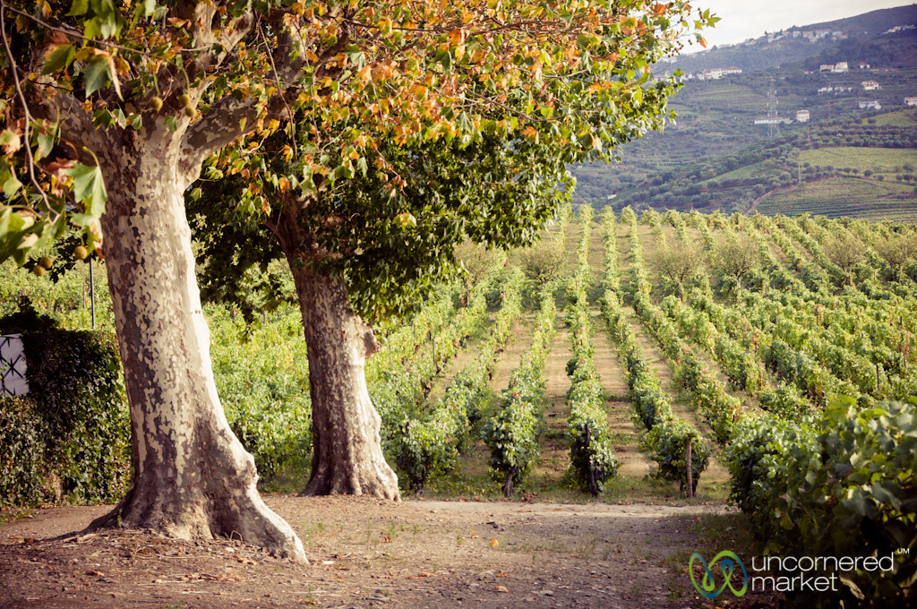 Rows of Grapes at Quinta de Pacheca Winery - Douro Valley, Portugal