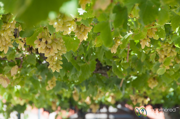 Grapes at Quinta do Seixo Winery - Douro Valley, Portugal