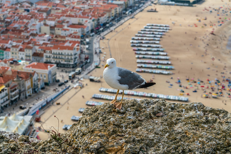 The seagull is sharing the view of Nazare from Sitio.