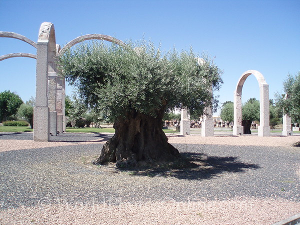 Azeitão - Bacalhoa Winery - 1000 year old Olive Tree