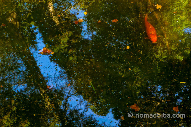 Koi fish at the Pena Palace in Sintra