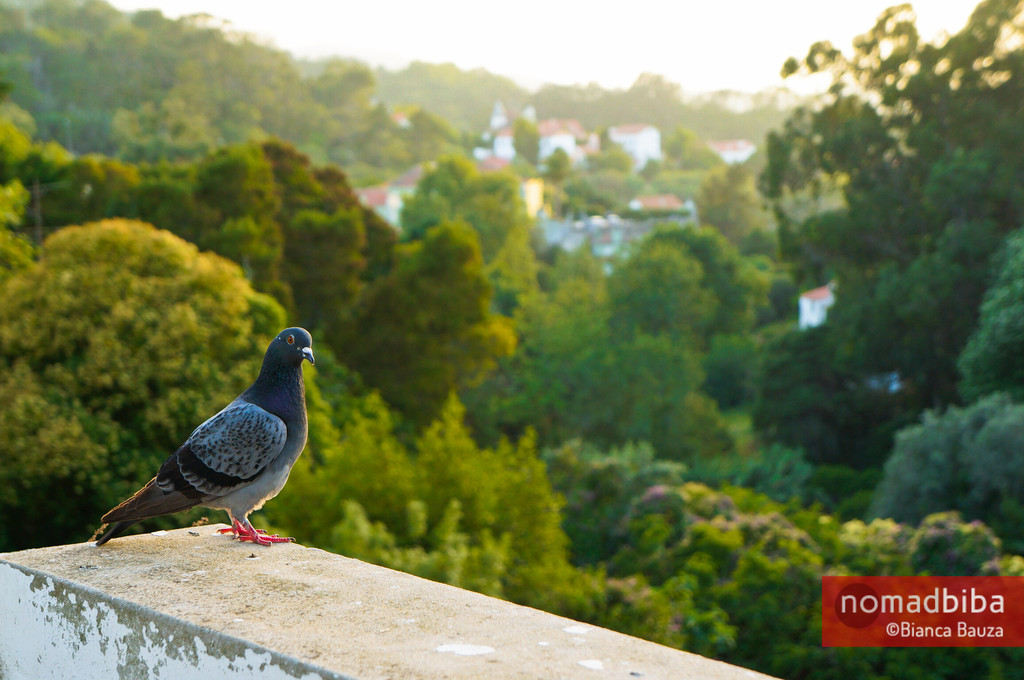 Pigeon in Sintra, Portugal