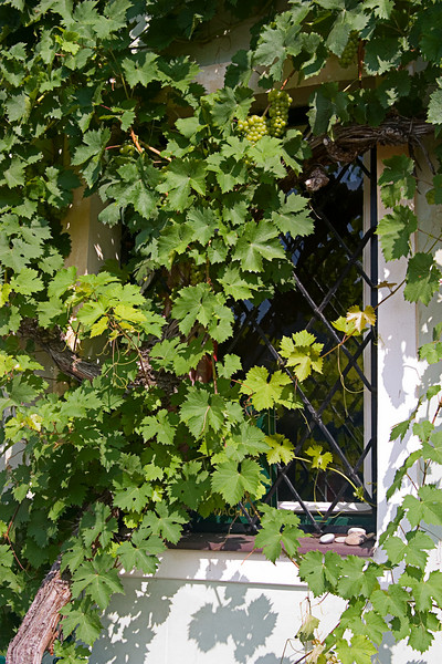 <center>Grape Vines   <br><br>Joching, Austria   <br><br>Grape vines were everywhere, including on the walls and windows of this farmhouse.    </center>
