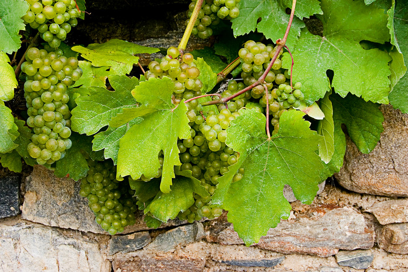 <center>Grapes   <br><br>Joching, Austria   <br><br>Bunches of grapes are ripening on the vine, awaiting the 2006 harvest.    </center>