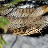 Gladde slang; Coronella austriaca; Schlingnatter; Smooth snake; Coronelle lisse