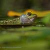 Groene kikker; Pelophylax; Water frog; Grenouilles verte; Grünfrösche