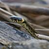 Ringslang; Natrix natrix; Grass snake; Couleuvre à collier; Ringelnatter