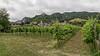 Vineyard near Dürnstein