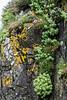 Roseroot (Rhodiola rosea) and fungi