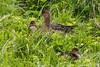 Eurasian wigeon (Anas penelope)