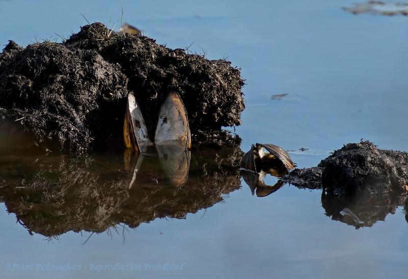 Zwanenmossel;Zoetwatermossel; Anodonta cygnea; Swan mussel; Anodonte des cygnes; Große Teichmuschel