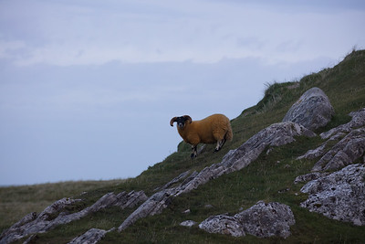 Sheep are everywhere on Harris, but where was Jason with his Argonauts looking.  This group indeed had golden fleece.