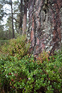 In other areas there are old growth pines surrounded by dense green vegetation with red berries and heather in abundance