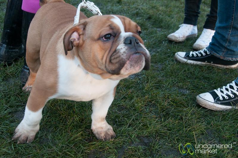 Bulldog Puppy at Dogmanay - Edinburgh, Scotland