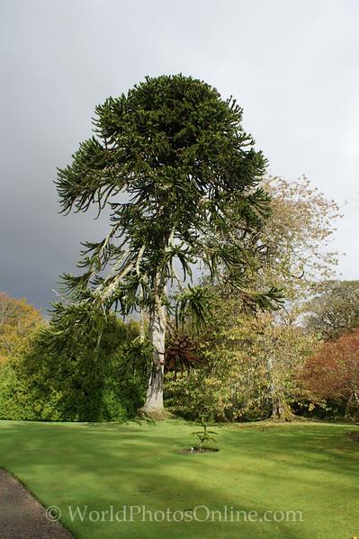 Skye - Dunvegan Castle - Garden Monkey Tree