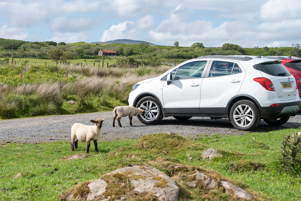 Sheep next to a rental car on Islay