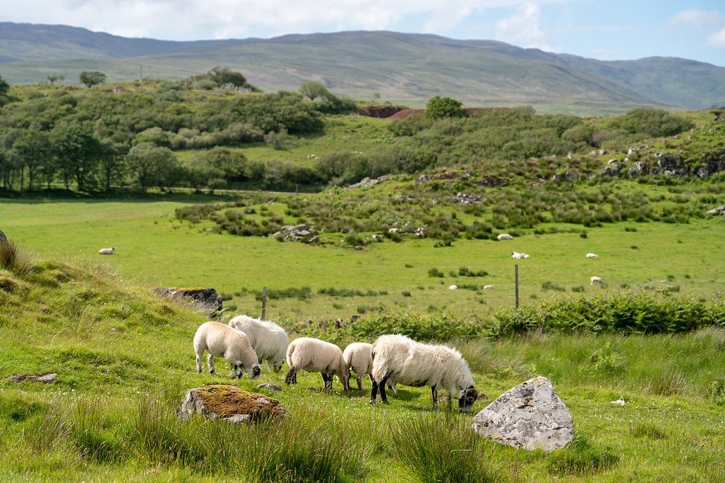 Islay landscape and sheep