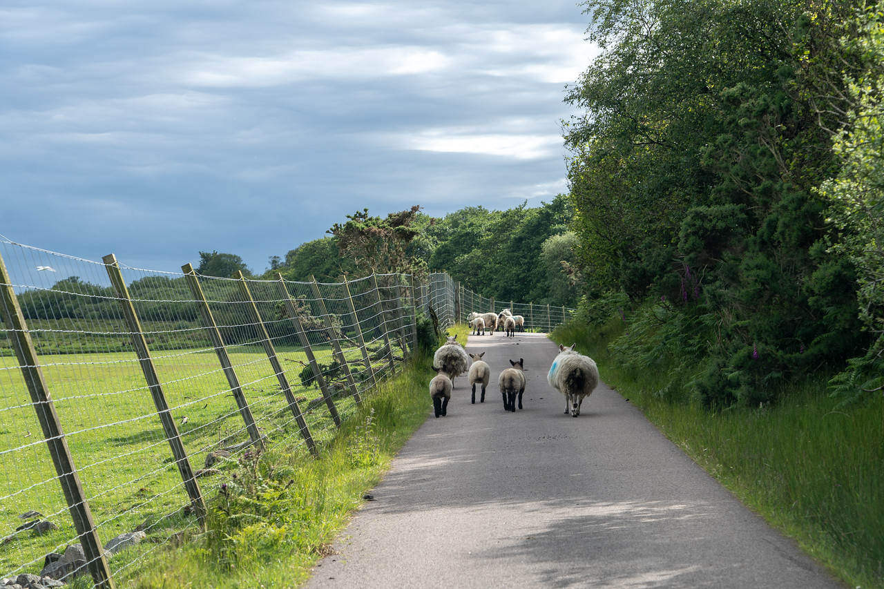 Sheep on the road on Islay in Scotland