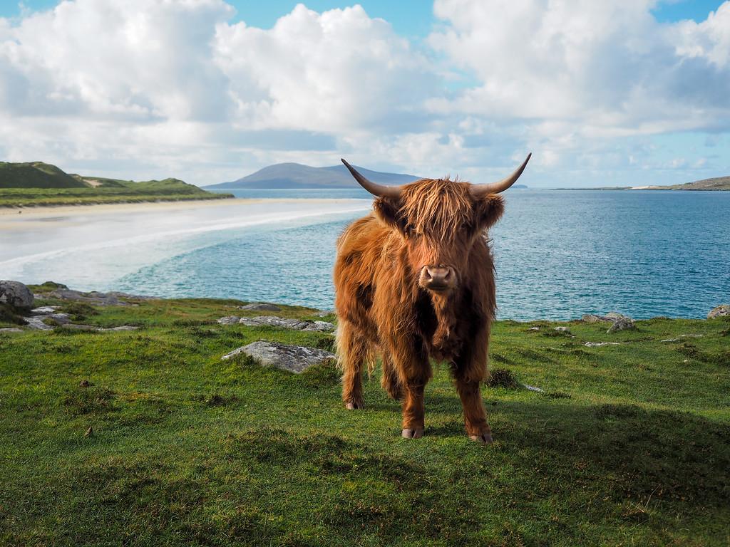 Highland cow on the Isle of Harris