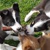 Sheep Dog Pups