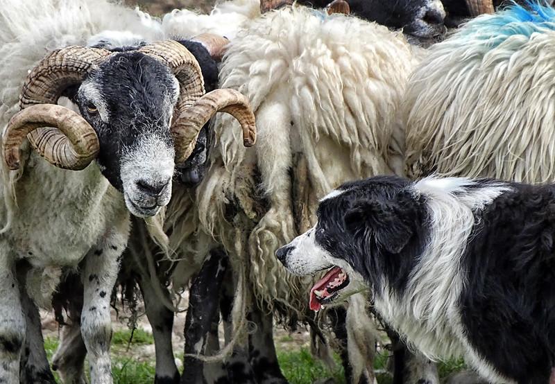 Sheep Dog