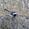 Black and White Wagtail