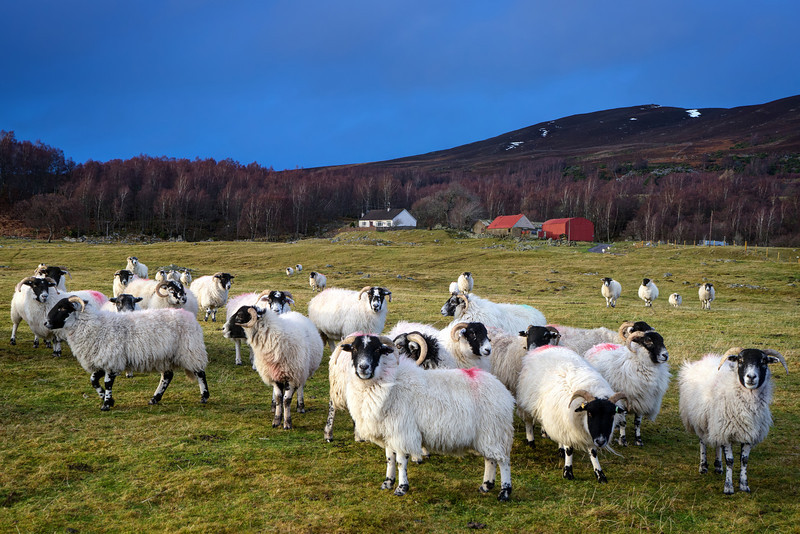 Blackface Sheep - Highlands, Scotland