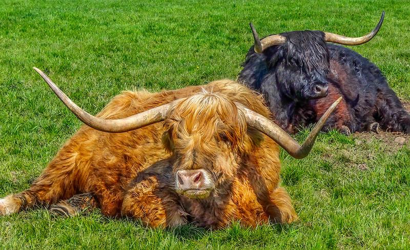 Scottish Highland Cow - Black Highland Cow