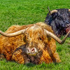 Scottish Highland Cow - Black Highland Cow