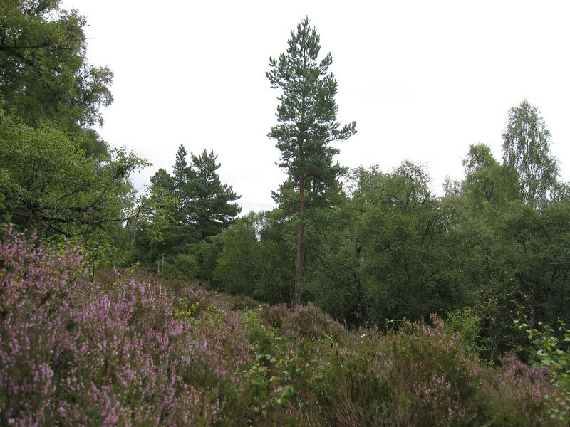 Gorgeous blooming heather in the Scottish Highlands in August