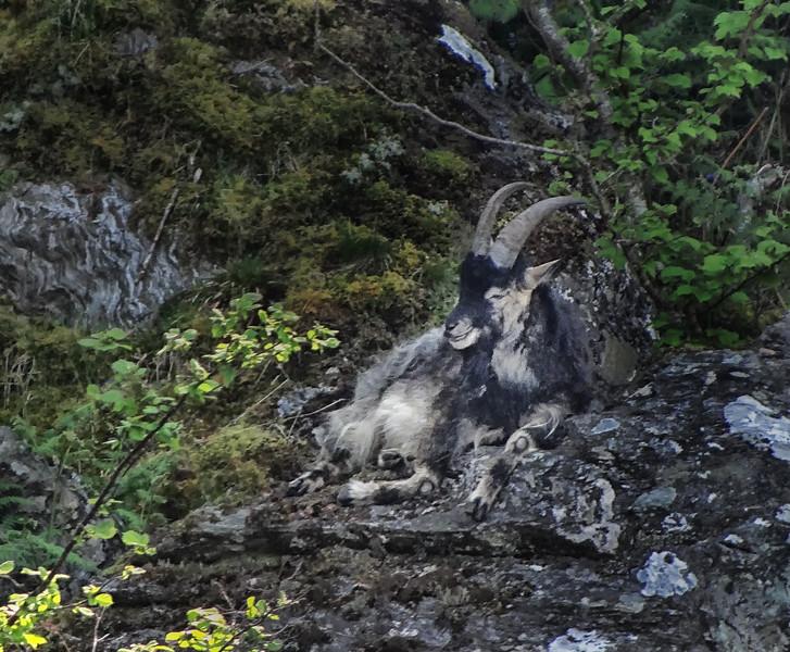 Scottish Wild Goat