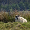 Scottish Wild Goat