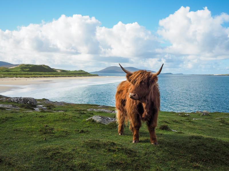 Hairy Highland Coo on the Isle of Harris