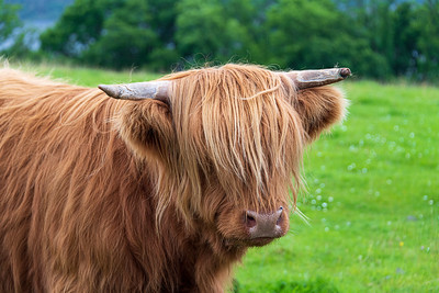 "Highland Cattle (""Coos"")"