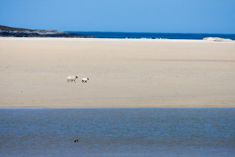 Sheep On A Beach