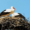 Stork nest, Spreewald