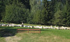 Polish sheep