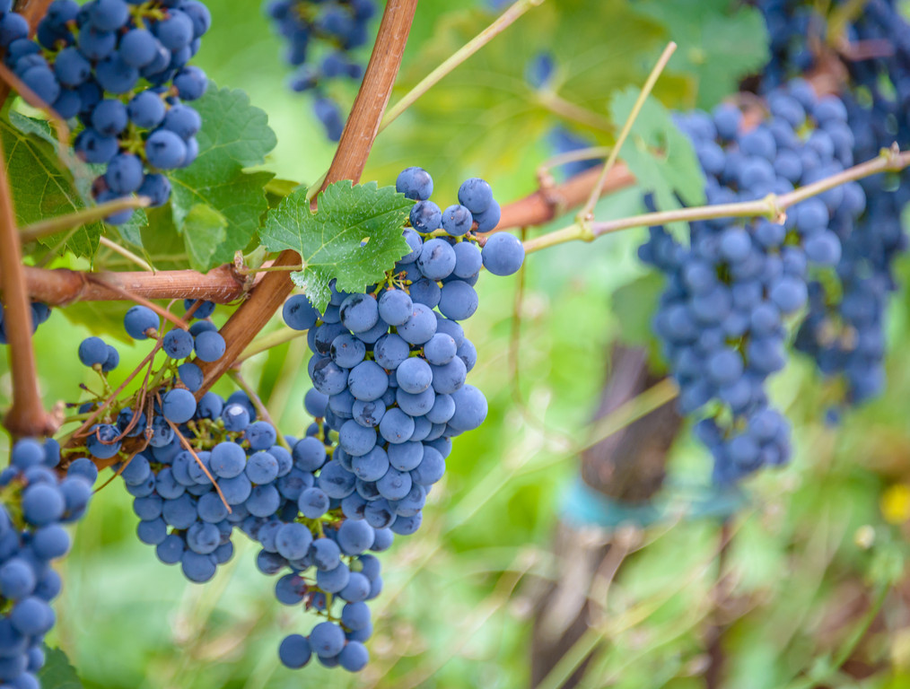 Vinyard Grapes