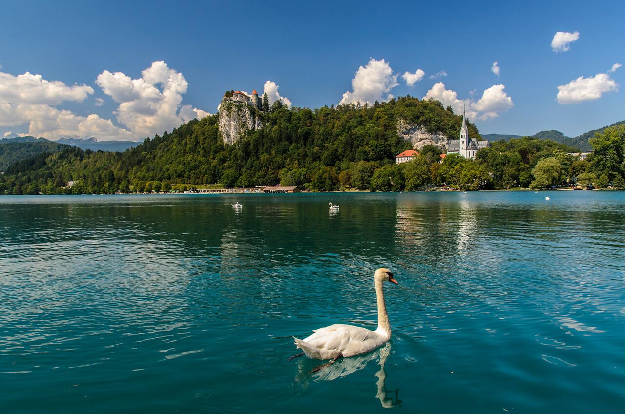 Swan at Bled