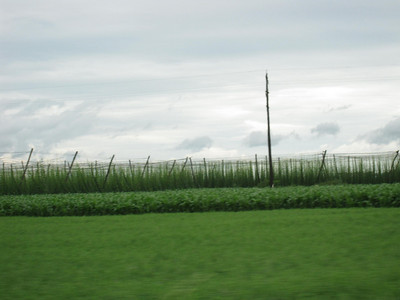 Lush Green Hops Field