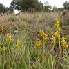 Sp 4142 Ophrys lutea bij Cumbres Verdes
