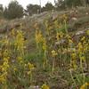 Sp 4207 Ophrys lutea bij Cumbres Verdes