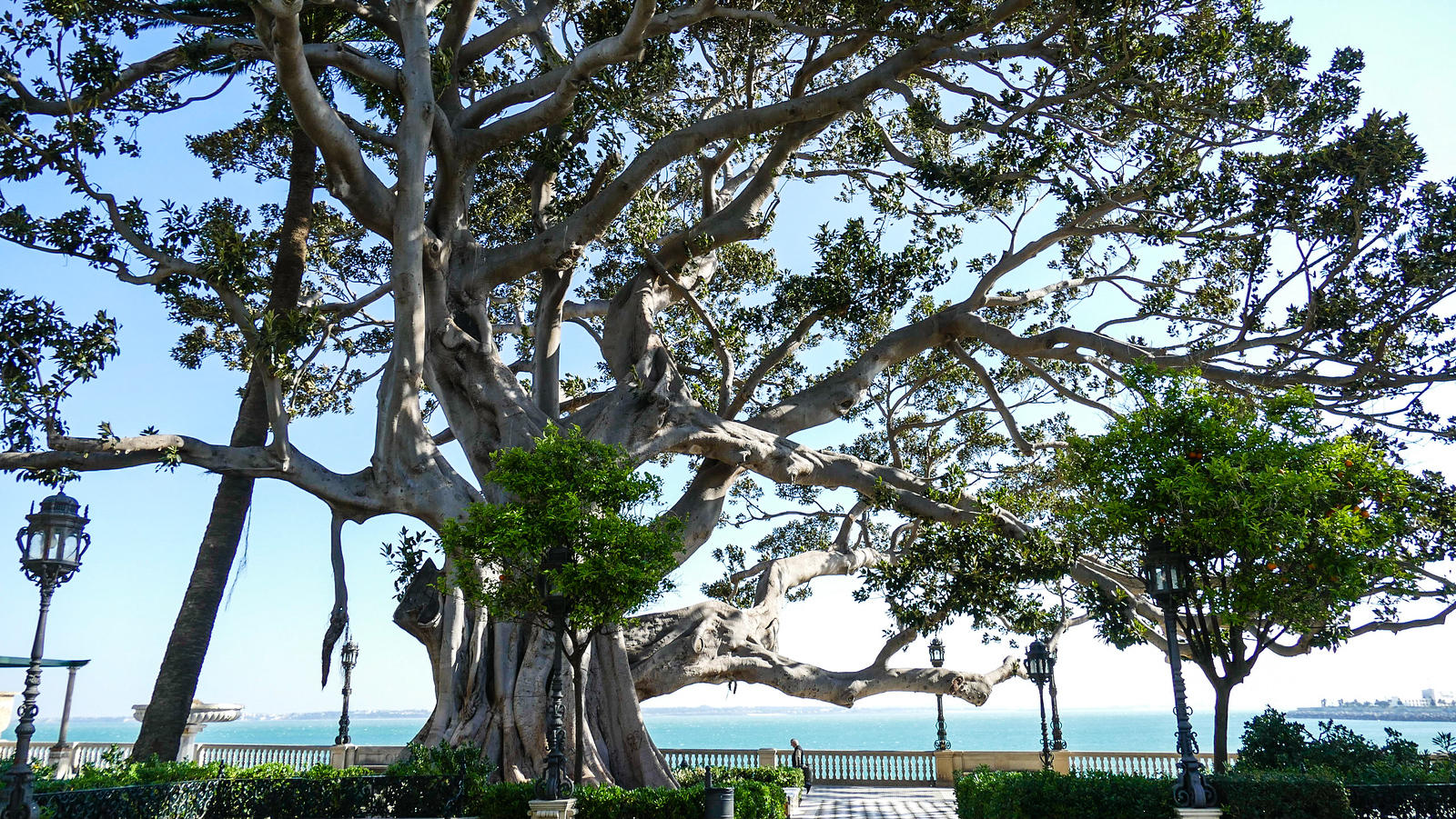A huge banyon tree offers a shady place to rest on a Cadiz walking tour.