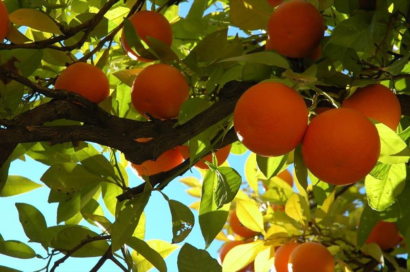 Orange Trees in Mezquita Courtyard - Cordoba, Spain