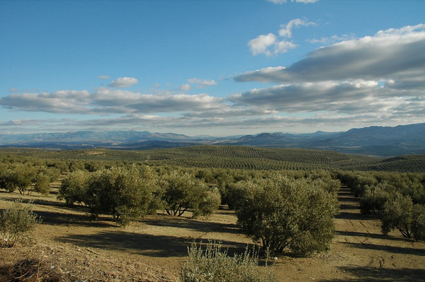 Olive Groves outside Bailen - Spain