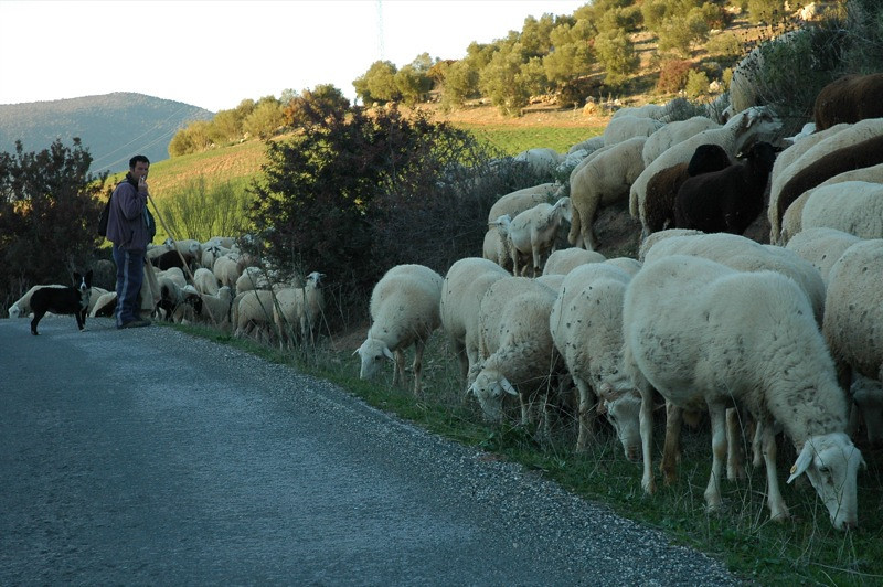 Andalusian Country Shepherd - Spain