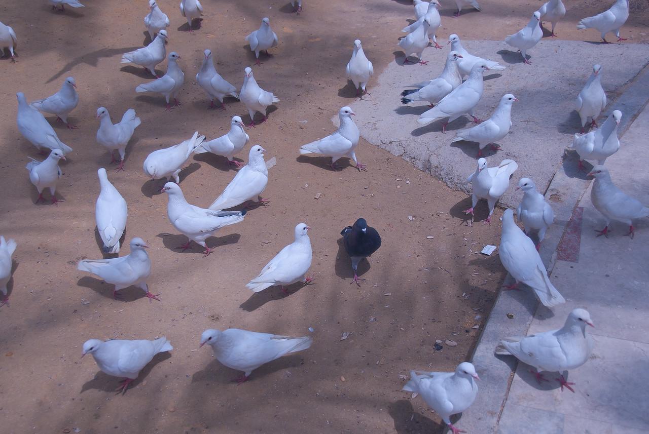 A black pigeon among a sea of white - Benidorm, Spain